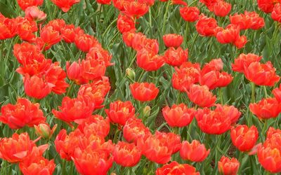 Red tulips on the field wallpaper