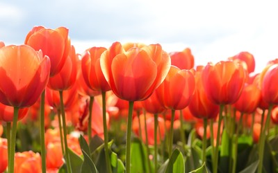 Red tulips rising to the sun light wallpaper