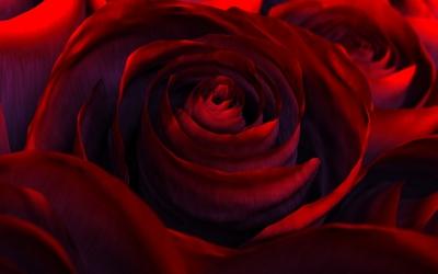 Red velvet rose wallpaper
