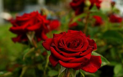 Red velvet roses wallpaper