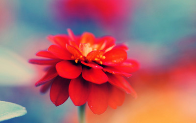 Red zinnia wallpaper