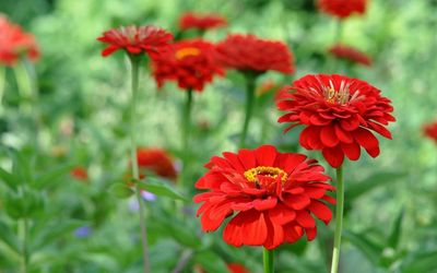 Red zinnias wallpaper