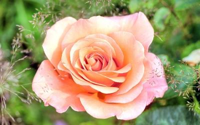 Rose [14] wallpaper