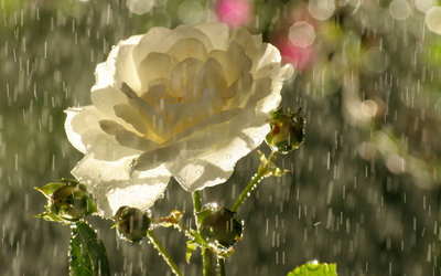 Rose in rain wallpaper