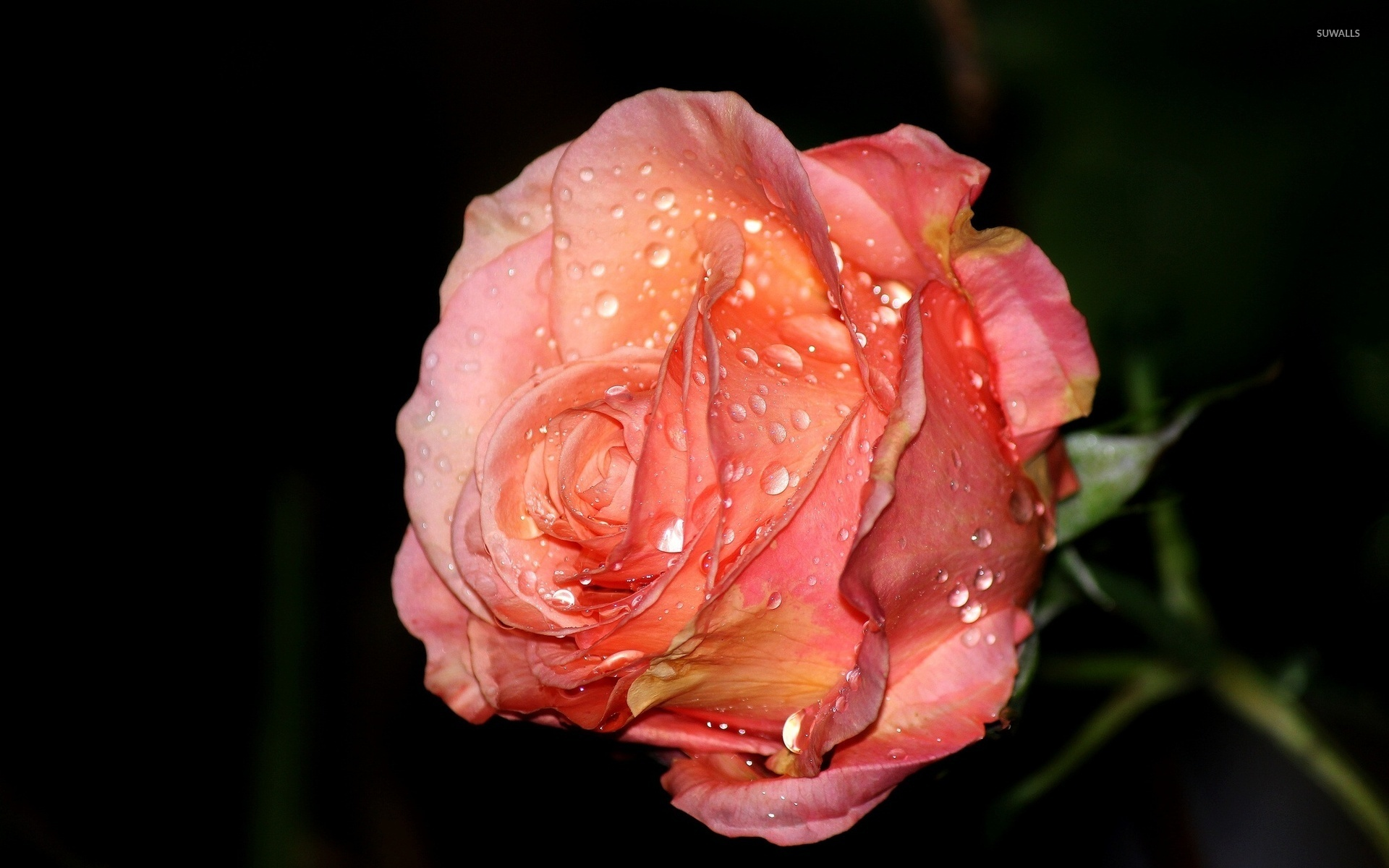 rose with water drops wallpaper - flower wallpapers - #41795