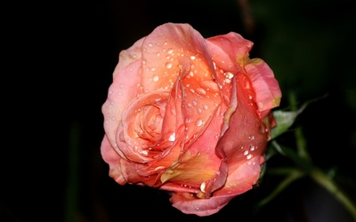 Rose with water drops wallpaper
