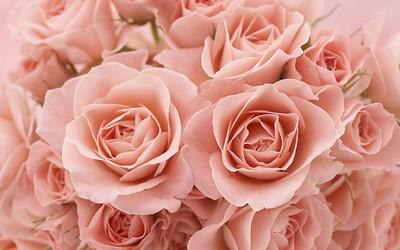 Roses [5] wallpaper