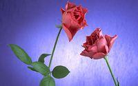 Roses [11] wallpaper 1920x1200 jpg