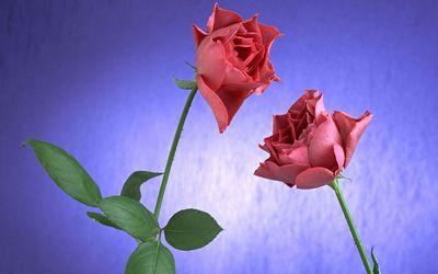Roses [11] wallpaper
