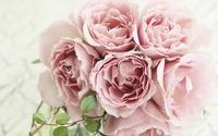 Roses [19] wallpaper 1920x1200 jpg