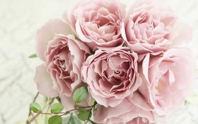 Roses [19] wallpaper