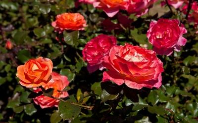 Roses [20] wallpaper