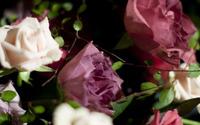 Roses [17] wallpaper 2560x1600 jpg