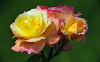Roses [13] wallpaper 1920x1200 jpg