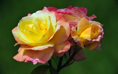 Roses [13] wallpaper