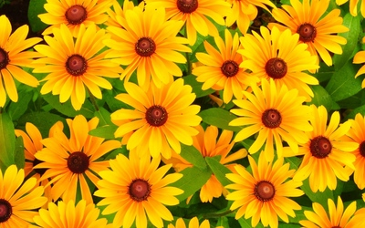 Rudbeckias wallpaper