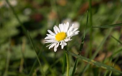 Single daisy in the grass wallpaper