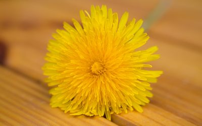 Single dandelion on wood wallpaper