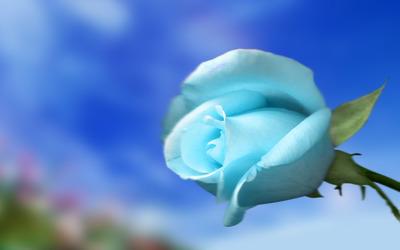 Sky blue rose wallpaper
