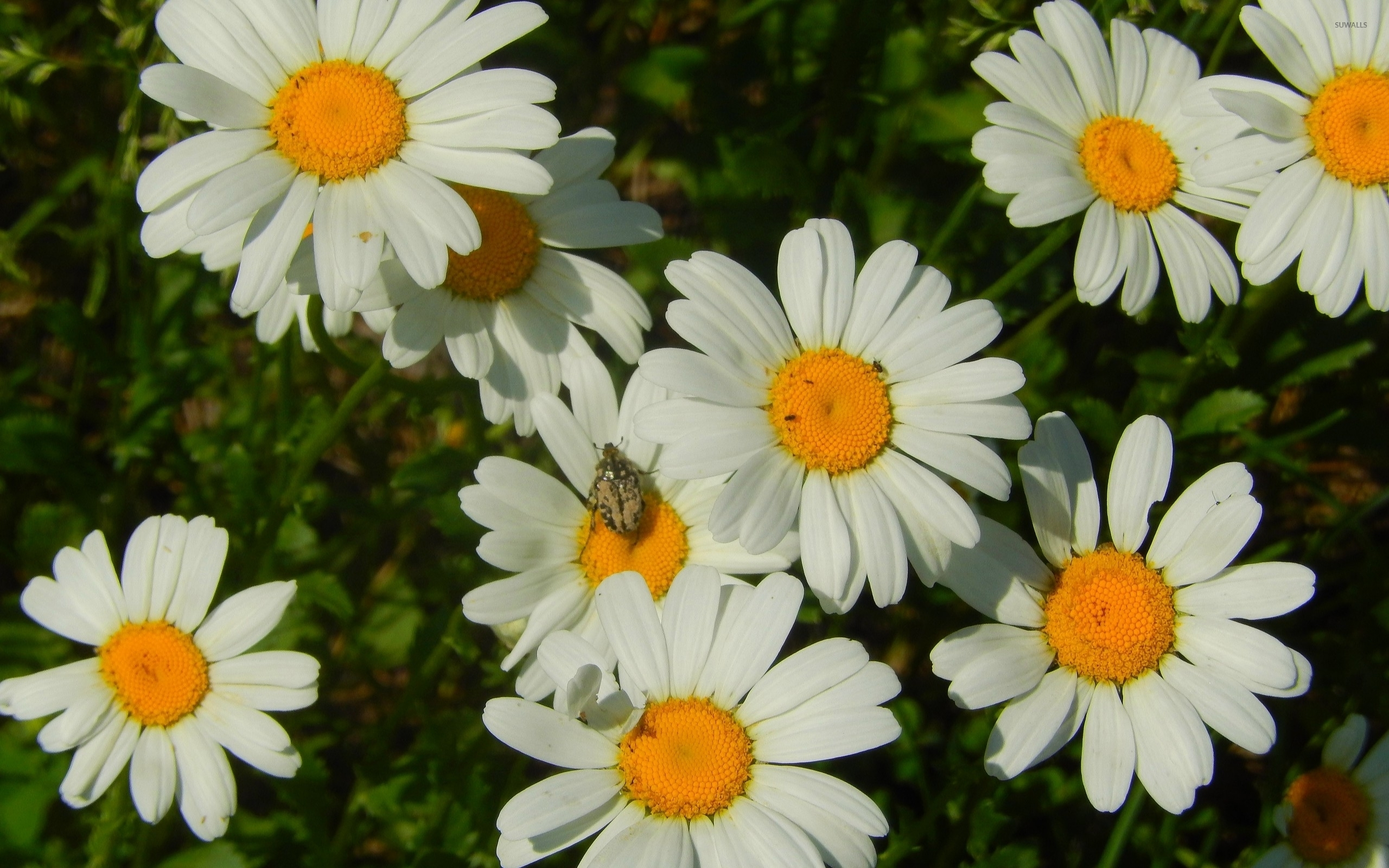 small bug on a daisy wallpaper - flower wallpapers - #52508