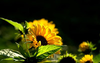 Small sunflower wallpaper 1920x1200 jpg