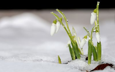 Snowdrops [5] wallpaper