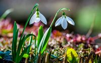 Snowdrops [3] wallpaper 2560x1600 jpg