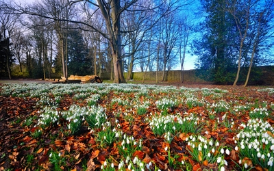Snowdrops in autumn leaves wallpaper
