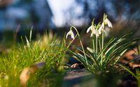 Snowdrops in the spring wallpaper 2560x1600 jpg