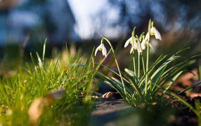 Snowdrops in the spring wallpaper