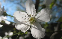 Sour cherry blossom [2] wallpaper 2560x1600 jpg