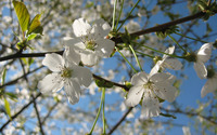 Sour cherry blossom wallpaper 2560x1600 jpg