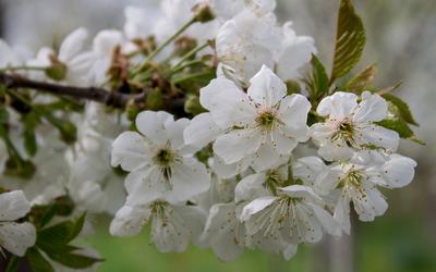 Sour cherry blossoms [2] wallpaper