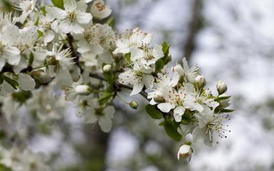 Sour cherry blossoms [6] wallpaper