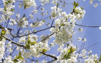 Sour cherry blossoms [3] wallpaper