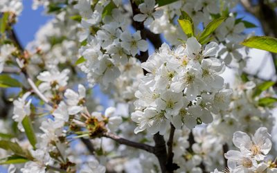 Sour cherry branch in the spring wallpaper