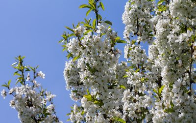 Sour cherry branches loaded with blossoms wallpaper