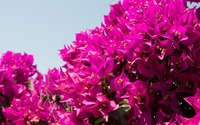 Spiderweb in a pink Bougainvillea shrub wallpaper 3840x2160 jpg