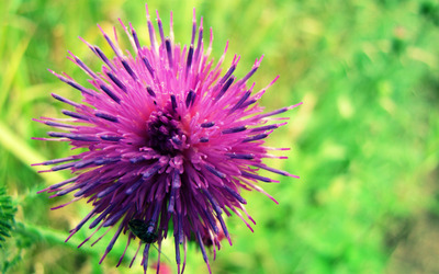 Spiky purple flower wallpaper