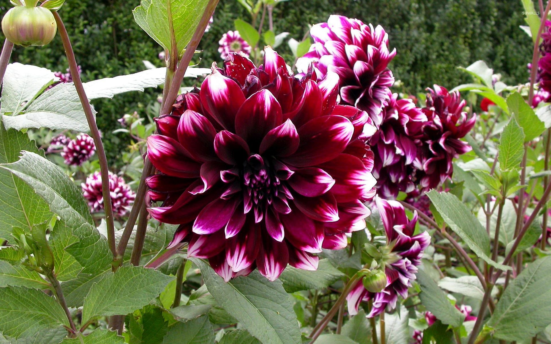 Splendid Dahlias Wallpaper Flower Wallpapers 54250 HD Wallpapers Download Free Images Wallpaper [1000image.com]