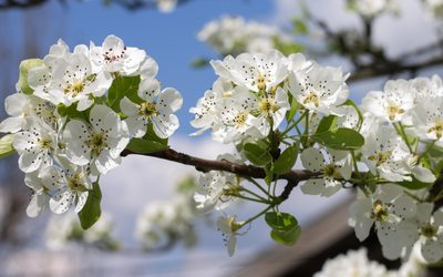Spring blossoms on a pear tree wallpaper