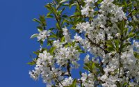 Spring blossoms on a sour cherry tree wallpaper 3840x2160 jpg