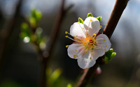 Spring cherry blossom wallpaper 1920x1200 jpg