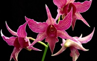Star orchids wallpaper 1920x1200 jpg