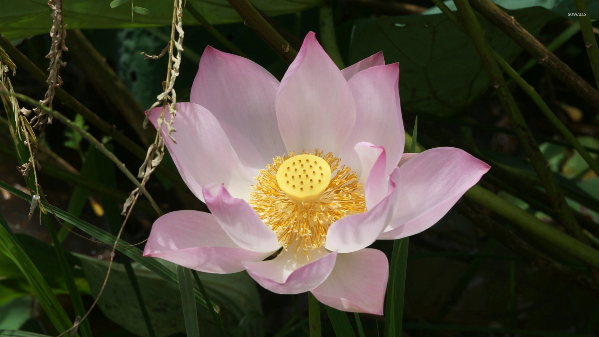 Stigma And Stamens Of A Pink Lotus Close Up Wallpaper
