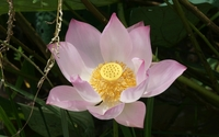 Stigma and stamens of a pink lotus close-up wallpaper 1920x1080 jpg