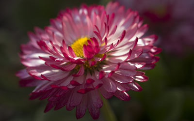 Strawflower wallpaper