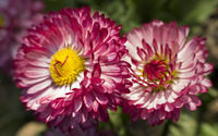 Strawflowers wallpaper 2880x1800 jpg