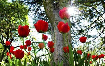 Sun shining on the red tulips wallpaper