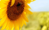 Sunflower [12] wallpaper 1920x1200 jpg